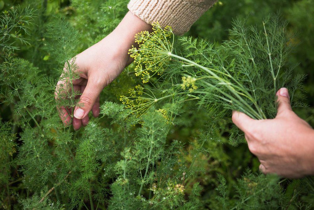 Woman harvesting dill