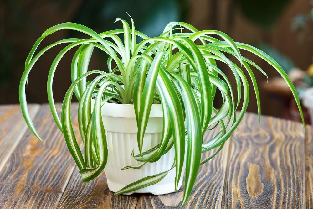 spider-plant-houseplant-zodiac-pairing