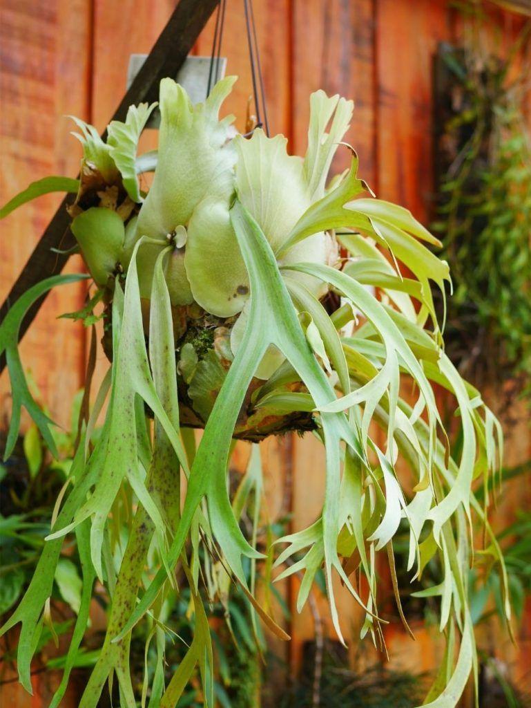 staghorn-fern-houseplant-zodiac-pairing