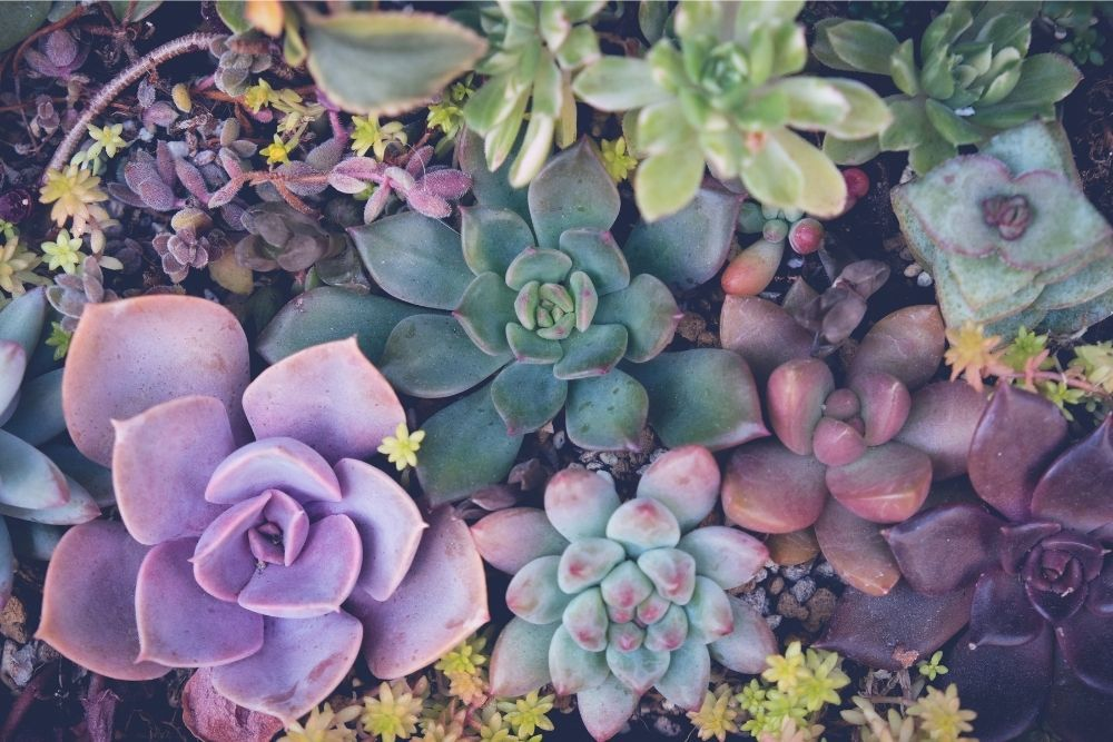 succulents-houseplant-zodiac-pairing