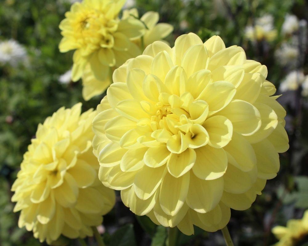 yellow-dahlias-houseplant-zodiac-pairing