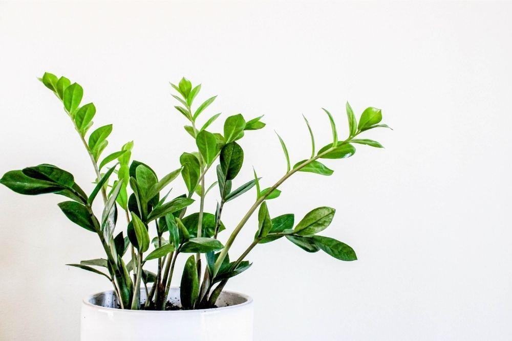 zz-plant-houseplant-zodiac-pairing