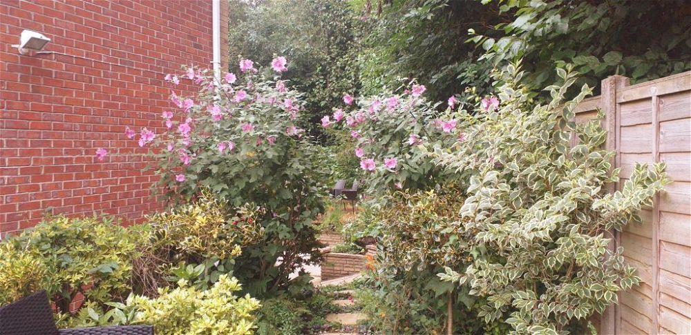 pink tree mallow