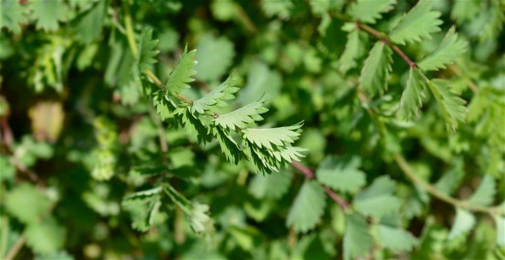 Salad burnet leaves