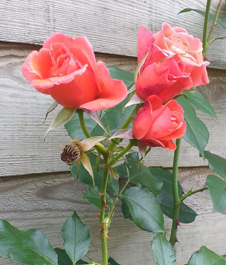 rose august