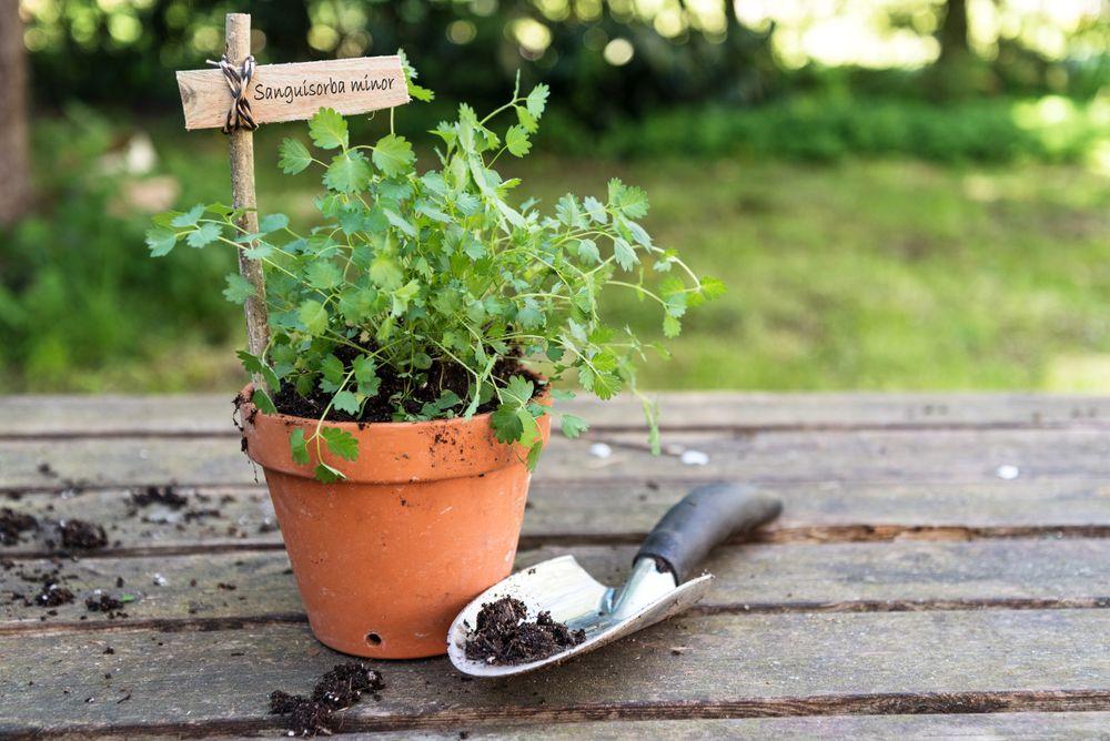 Salad burnet in pot