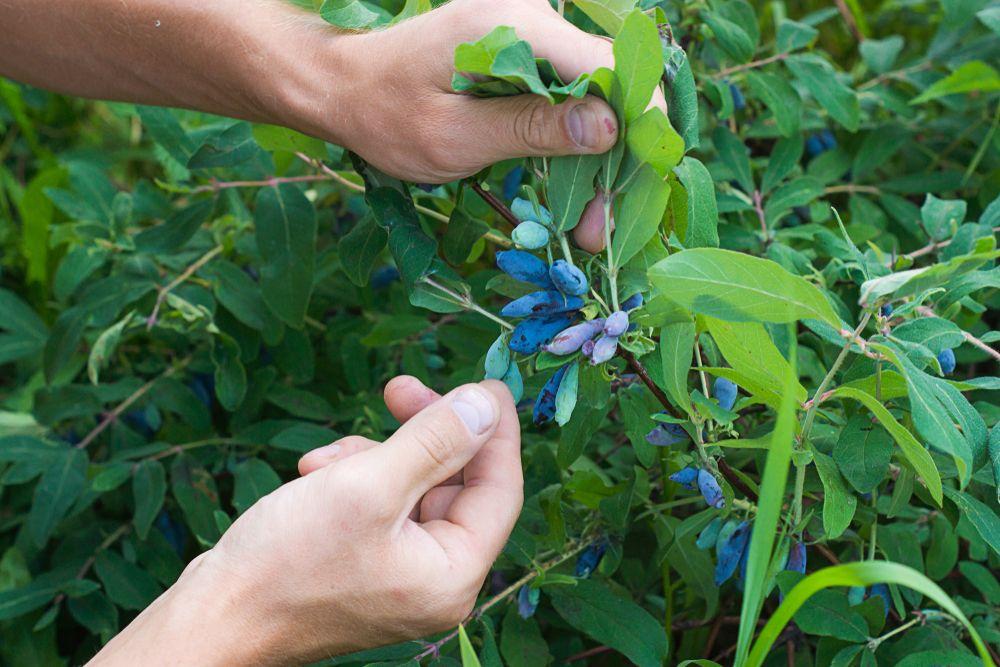 Harvesting Honeyberries