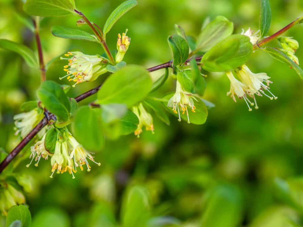 Honeyberry flowers