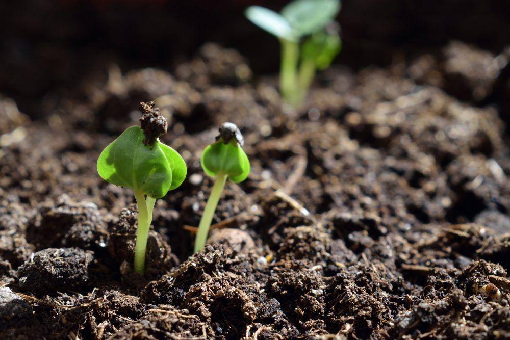 Marshmallow seedlings