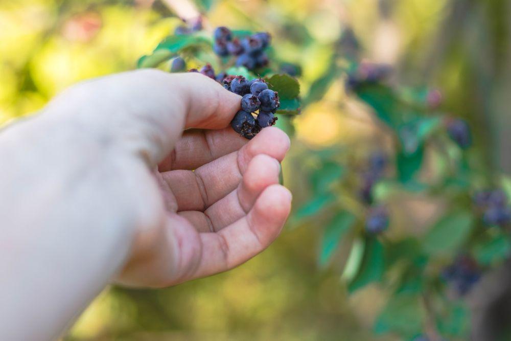 Hand picking juneberries