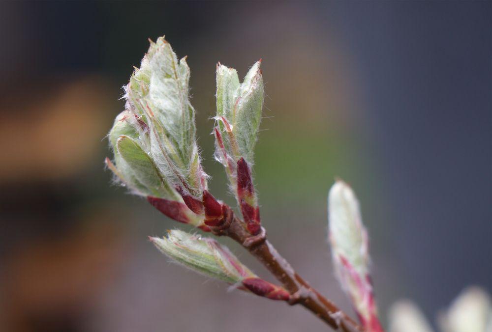 Juneberry plant