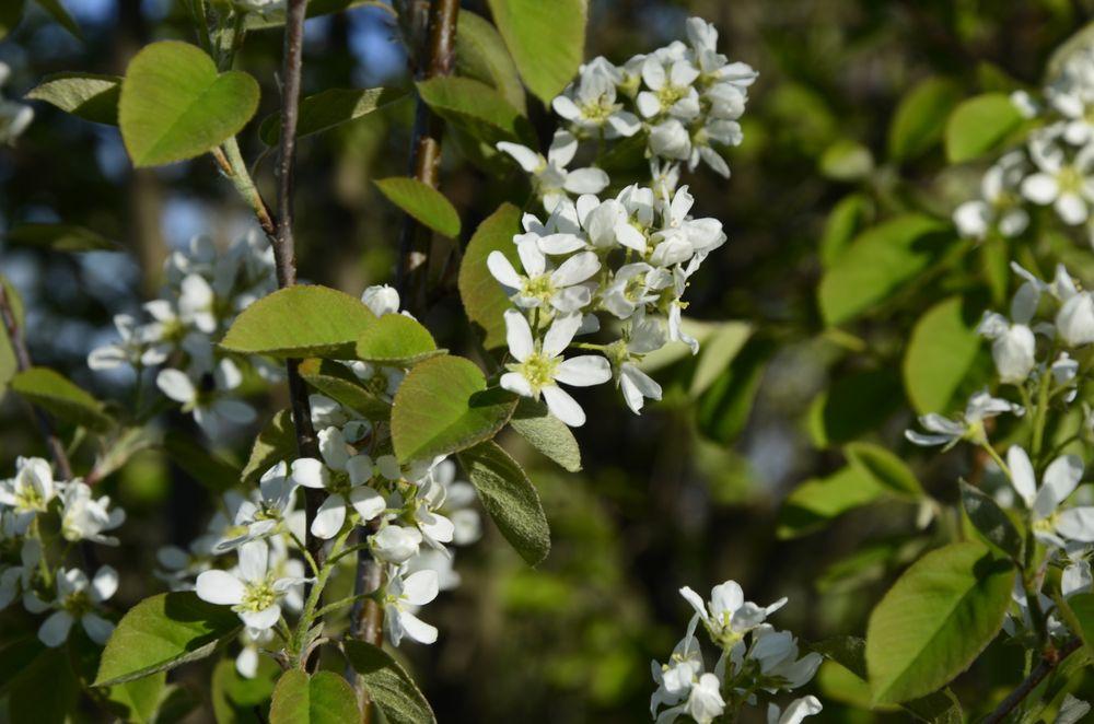juneberry flowers
