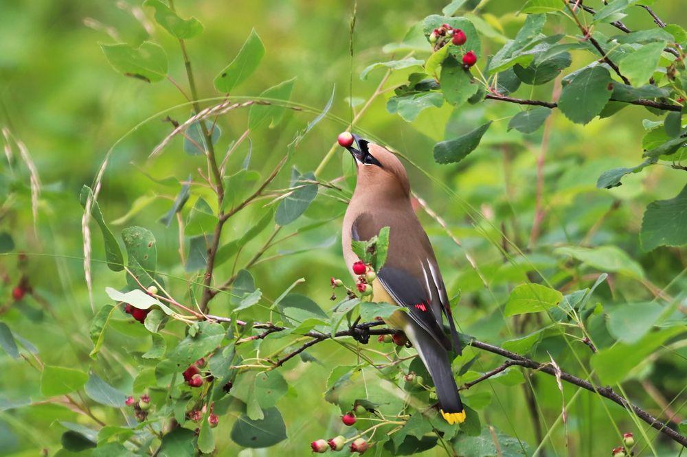 Bird eating juneberries