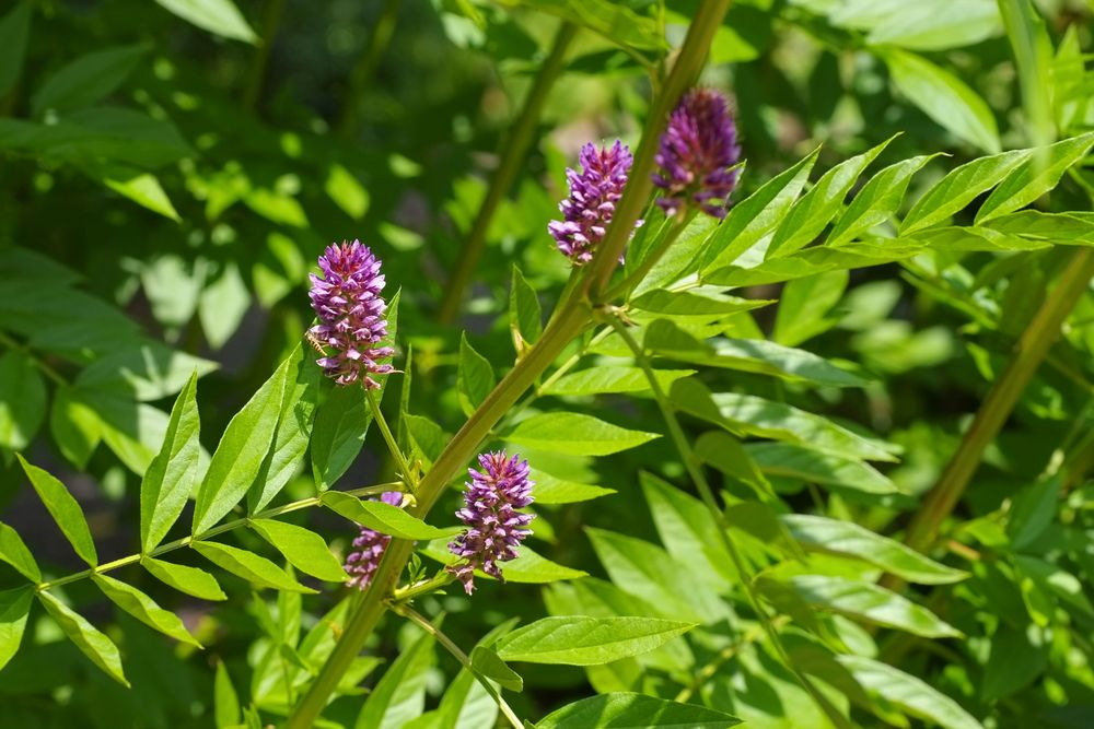 Liquorice plant with flowers