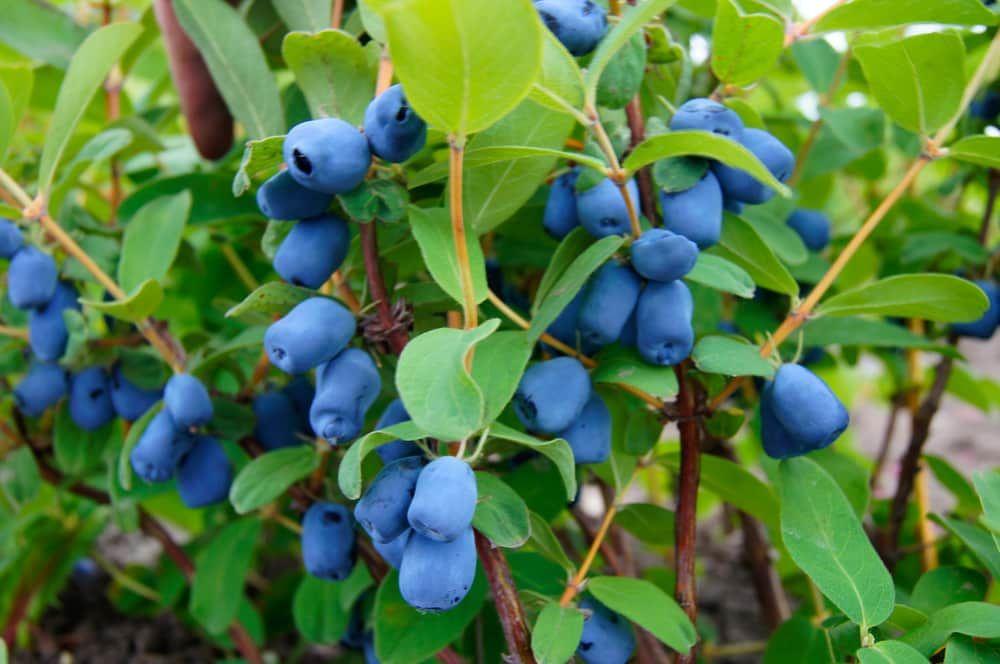 Honeyberries on bush