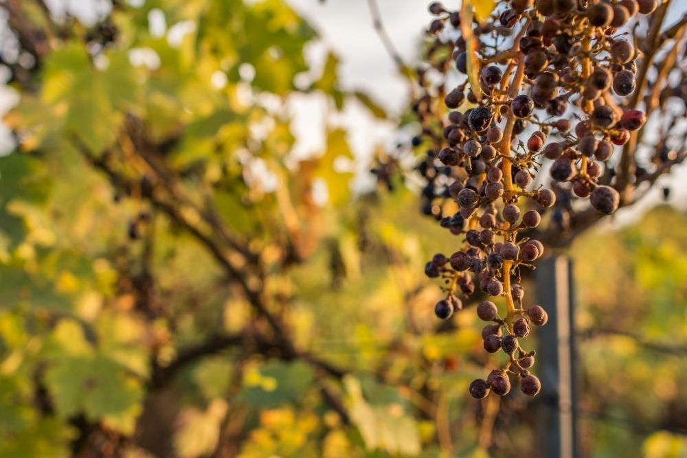 climate-change-ruins-the-grape-harvest-due-to-drought