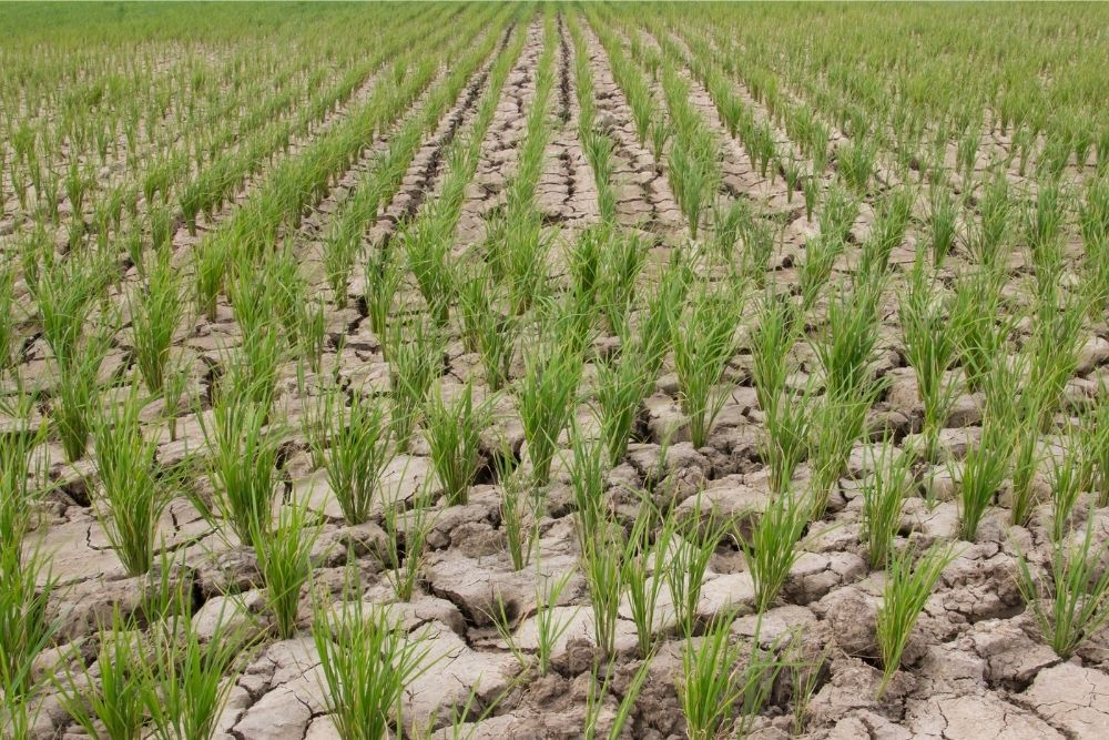 drought-rice-field