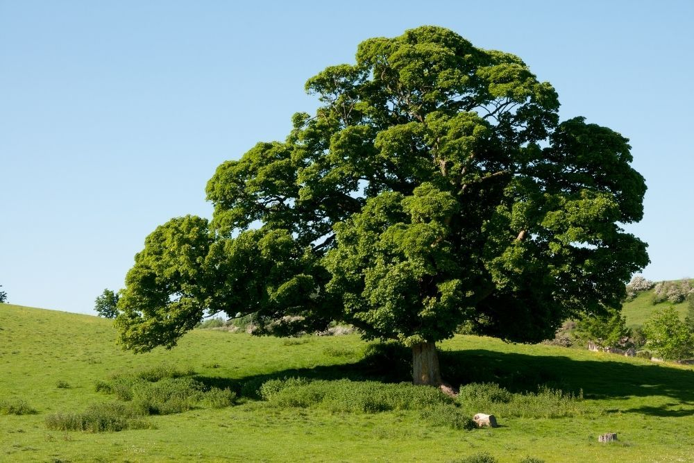 english-oak-tree