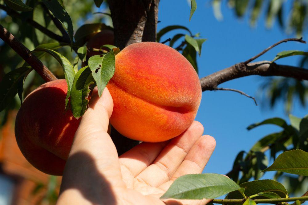 Harvesting a peach