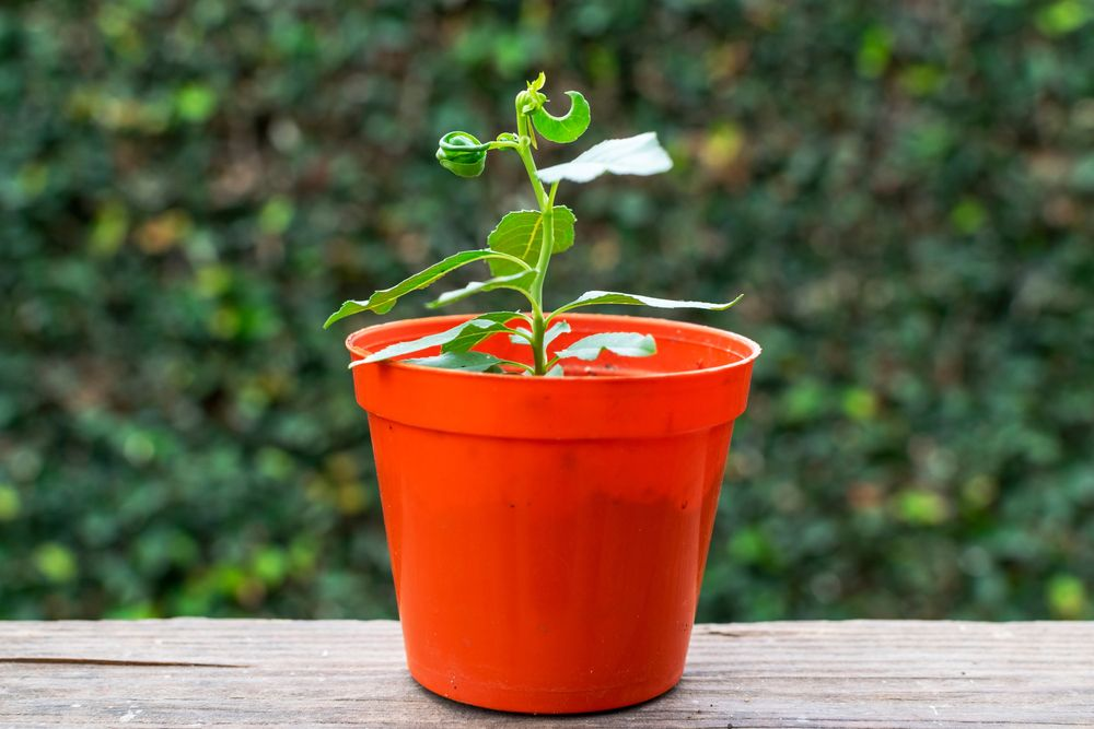 Young peach tree in pot