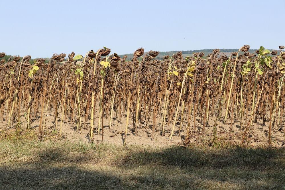 sunflower-field-drought